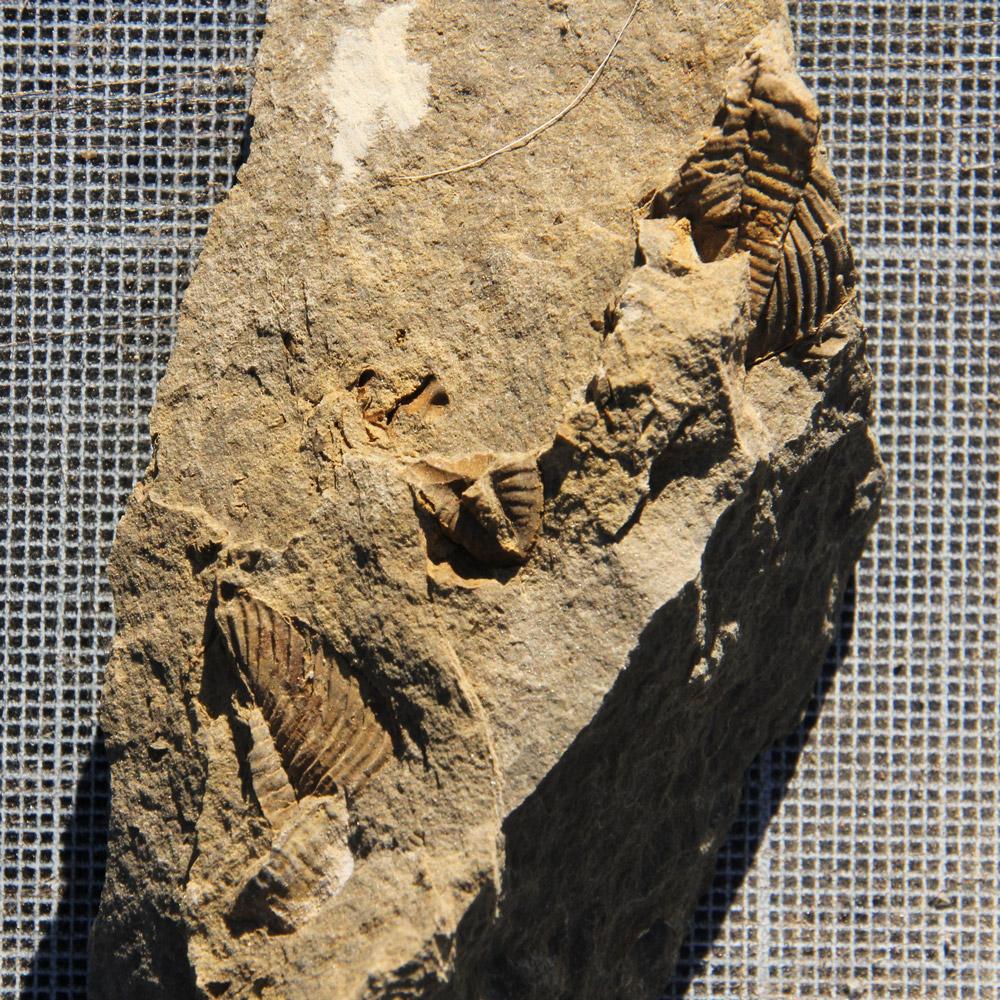 Proteus Trilobite