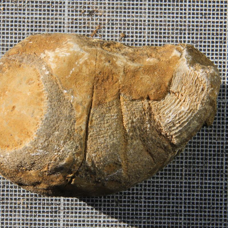 Rugose-Coral-3
