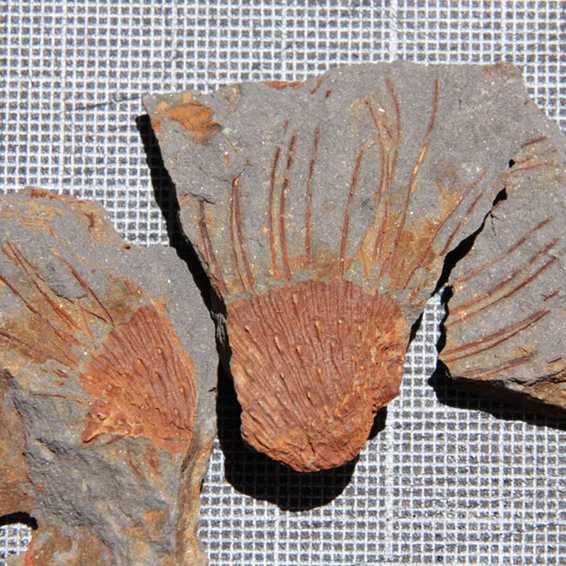 Spiny-Brachiopod